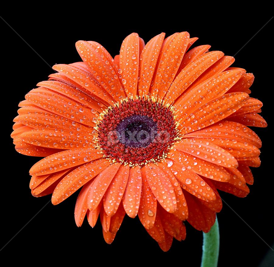 by Biljana Nikolic - Flowers Single Flower ( orange, water drops, daisy flower, red, nature, spring.gift, nice, flower )