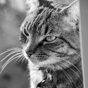 His Majesty, Cooper by Aaron Krosner - Animals - Cats Portraits ( cat, b&w, majestic )