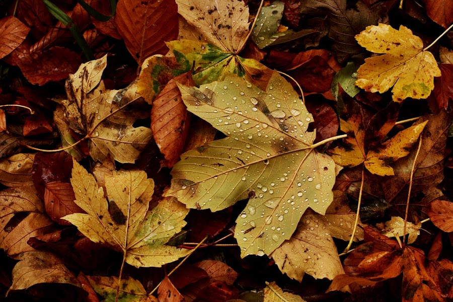 Autumn Dew by Jadranka Bužimkić - Nature Up Close Leaves & Grasses ( fall leaves on ground, fall leaves )