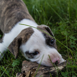 Henry by Lauren Young - Animals - Dogs Puppies ( columbus, puppies, ohio, grass, pitbull, branch, dog playing, puppy, pit, dog, portrait )