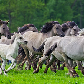 Wild Horses II by Friedhelm Peters - Animals Horses ( wild, horse, herd )
