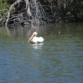 Pelican! by Heather Walton - Novices Only Wildlife ( fish, swim, lake, pelican, shrubs )