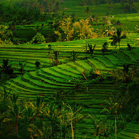 Morning Sun by Vincentius Hioe - Landscapes Prairies, Meadows & Fields ( rice field terrace, bali, jatilewih )