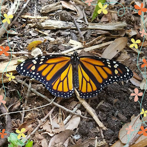 Monarch With Flowers.jpg
