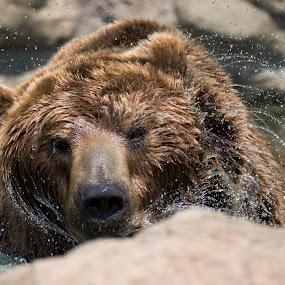 Bear Bath by Jiri Cetkovsky - Animals Other ( water, brno, zoo, drops, bath, baar )