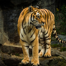 His majesty by Ruth Chudaska-Clemenz - Animals Lions, Tigers & Big Cats ( sibiria, tiger, wildlife, exotic )