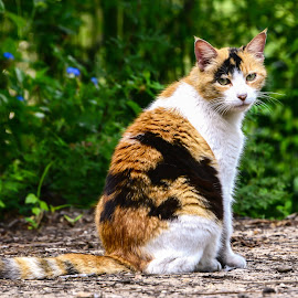 Calico by Steve Munford - Animals - Cats Portraits ( calico, cats, animals, nature, felines )