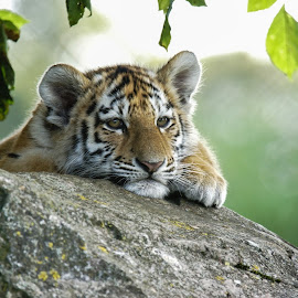 Day Dreaming by Tim Clifton - Animals Lions, Tigers & Big Cats ( tiger, cub )