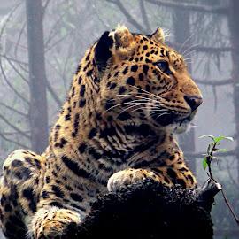 Leopard by Saumy Nagayach - Novices Only Wildlife ( cheetah, wild, zoo, leopard,  )