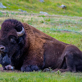 by Bill Phillips - Animals Other ( up close, buffalo, prairie, animal )