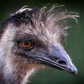 Emu by Dave Lipchen - Animals Birds ( emu )