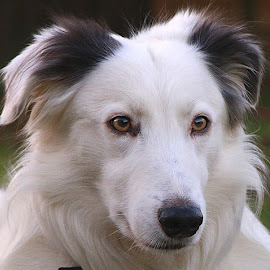 Ears Slightly Up! by Chrissie Barrow - Animals - Dogs Portraits ( long haired, pet, male, white, fur, ears, grey, dog, nose, lurcher, black, portrait, eyes )
