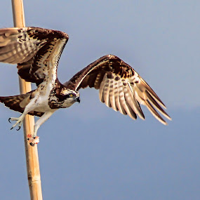 Osprey by Rusman Budi Prasetyo - Animals Birds ( bird,  )