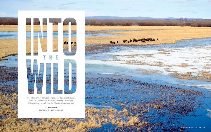 Alaska Bison for Sunset Magazine