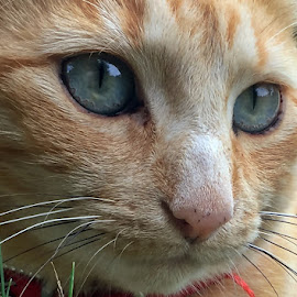 Henry's eyes by Dobrin Anca - Animals - Cats Portraits ( love, green, cat, brittany, eyes,  )