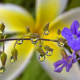 Duranta Births Plumeria by Margie MacPherson - Nature Up Close Natural Waterdrops ( water, plumeria, macro, water drops, nature, purple, macro photography, green, nature up close, yellow, duranta, purple flower )