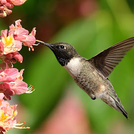 YAY!!  It's Hummingbird Season by Shawn Thomas - Animals Birds
