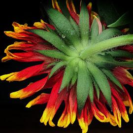 Gaillardia by Millieanne T - Flowers Single Flower