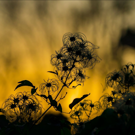 Shilouette by Jennifer Griephan - Nature Up Close Other plants ( silhouette, fall, plants, golden, golden hour )