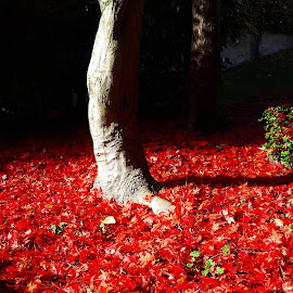 lake of red leaves by Nele Hölzer - Instagram & Mobile Android ( red, tree, autumn, leaves, sun )