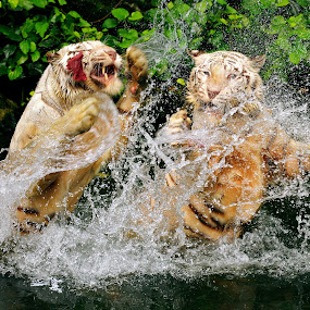 Tigers....Fight! by Alit  Apriyana - Animals Other