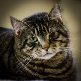 One Eyed Cat by Myra Brizendine Wilson - Animals - Cats Portraits ( cats, cat, pet, pets, tigger, feline )