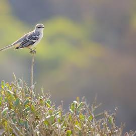 Mocking bird  by Gérard CHATENET - Animals Birds