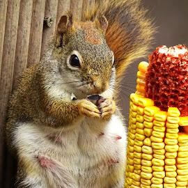 by Paulette King - Animals Other ( animals, nature, red squirrels, wildlife, squirrel )