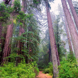 Misty Forest by Michelle Newport - Novices Only Landscapes ( nature, redwood trees, trees, forest, morning' )