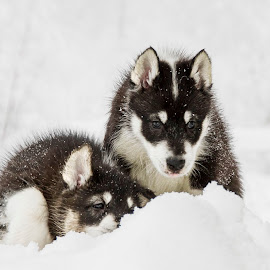 Hiding cuties by Kjersti Narmo - Animals - Dogs Puppies ( winter, polar puppy, hiding, polar dog, snow, puppy, dog )