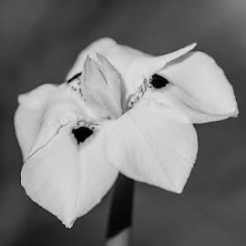 B&W Flower by Eleanor Hattingh - Black & White Flowers & Plants