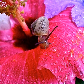 { Snail on a Hibiscus ~ 31 July }  by Jeffrey Lee - Nature Up Close Other Natural Objects ( { snail on a hibiscus ~ 31 july } )