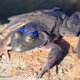 by Beth Bowman - Animals Amphibians