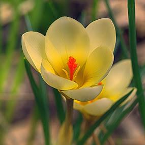 Yellow Mellow ! by Marco Bertamé - Flowers Flowers in the Wild ( krokus, open, orange, petals, green, bloom, yellow, spring,  )