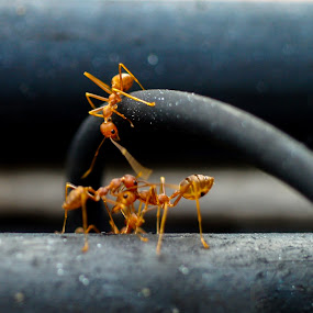 Ant Reporter by Kiên Lâm - Animals Insects & Spiders ( reporter, macro, fight, e-410, olympus zuiko om 50mm f3.5 macro, kienmm, kiến, ant )