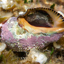 Red-mouthed rock shell