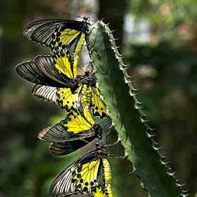 3 butterfly mating by Toni Panjaitan - Animals Other ( butterfly )
