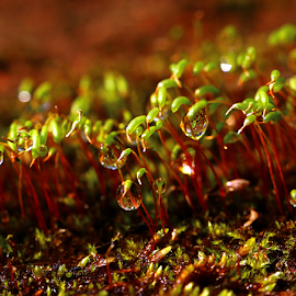 Water drops on Moss. by Dipali S - Nature Up Close Other plants ( plant, bryophyta, capsule, moss, wildlife, brightly, calyptra, leaf, lichen, tranquil, sporophyte, nature, foliage, central, rhizoid, extreme, green, lush, forest, woods, seta, spores, wilderness, environment, vascular, operculum, color, freshness, growth )