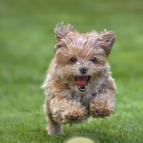 Focused by Michael Milfeit - Animals - Dogs Playing ( natural light, playful, jumping, joy, cute, run, running, natural background, playing, curious, nature, toy, happy, action, mamal, animal, ball, moving, animalia, play, charging, adult, young, portrait, jump, canine, joyful, animal kingdom, female, pet, zoology, dog, companion dog, natural, plaything, #GARYFONGPETS, #SHOWUSYOURPETS,  )