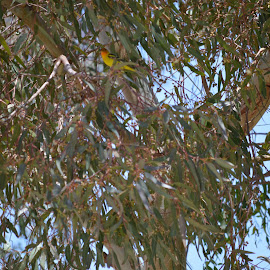 Pretty yellow bird by Heather Walton - Novices Only Wildlife ( bird, resting, tree, chirping, yellow )