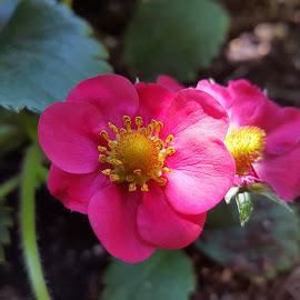 strawberry flower  by Nele Hölzer - Instagram & Mobile Android ( summer, leaf, strawberry, sun, flower )
