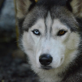 Queen Sheba by Mark Lendacky - Animals - Dogs Portraits ( husky, gray, dog, portrait, eyes )