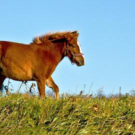 Steadfast by Reva Fuhrman - Animals Horses ( horse field grazing warm day blue sky )