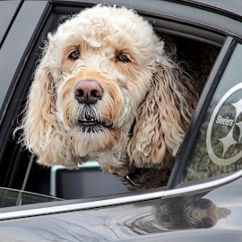 Doggie in the Window by Judy Laliberte - Novices Only Pets ( car window, white, curley hair, dog's face, dog )