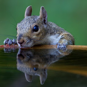 I was in the backyard photographing birds when i noticed this Squrriel just peeking over the edge of the bird bath getting a drink. by Robert Strickland - Animals Other Mammals ( reflection, reflections, mirror,  )