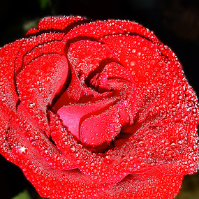 Red Rose by Tiahn Anneliese - Nature Up Close Flowers - 2011-2013