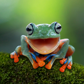 Java tree frog laugh by Kurit Afsheen - Animals Amphibians ( tree frog, amphibian, animal )
