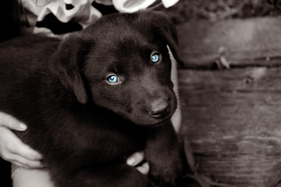 Baby Blues by Rebekah Miller - Animals - Dogs Portraits