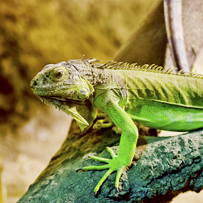 Reptile by Irshad Rahimbux - Animals Reptiles