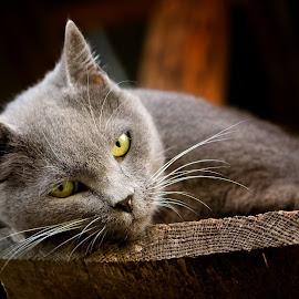 by Trent Eades - Animals - Cats Portraits